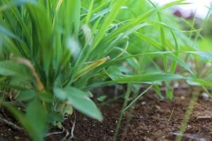 大麦若葉2